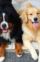 Golden Retriever e cães da raça Berneses