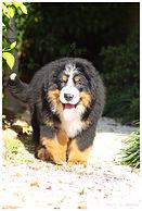 Alimentação para cães das raças Golen Retriever e Bernse