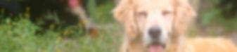 Golden Retriever filhotes em canil com valor