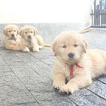 Trio de filhotes de Golden Retriever