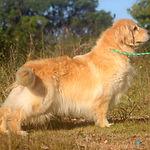 Cadela de Golden Retriever peluda