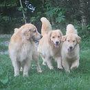 Golden Retriever foto com vários filhotes