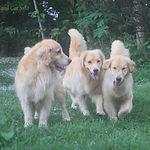 Canil de Golden Retriever com 3 cães