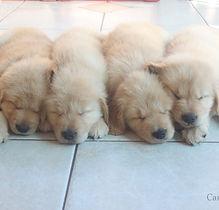 4 filhotes de Golden Retriever dormindo feito anjos