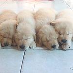Filhotes de Golden Retriever dormindo lado a lado