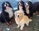 Três cães da raça Bernese e uma fêmea da raça Golden Retriever