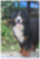 Bernese Mountain Dog macho