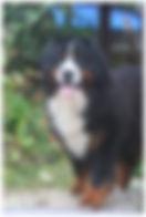 Bernese Mountain Dog macho
