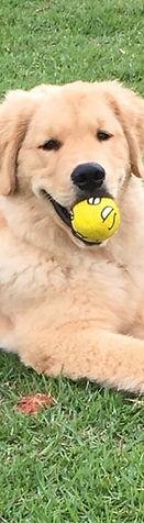 Filhotão de 5 meses da raça Golden Retriever