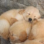 Filhotinha de Golden Retriver dormindo em cima dos irmãos