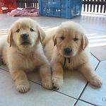 Dois filhotes, deitados, da raça Golden Retriever
