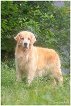 Fêmea da raça Golden Retriever chamada de Tonka