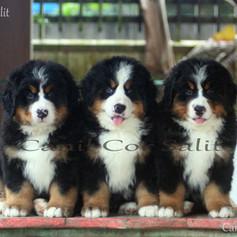 Trio de filhotes tricolores da raça Bernese Mountain Dog