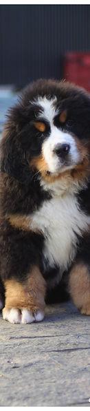 Diferença entre criadores de cães, podendo ser de Golden Retriever ou Bernese ou qualquer raça.
