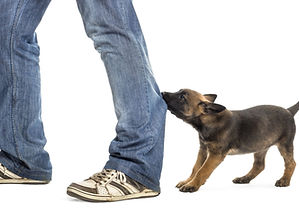 Puppy biting someone's jeans