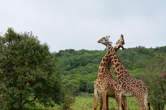 Arusha Giraffen.jpg