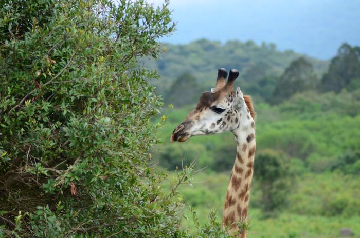 Arusha Portrait Giraffe.jpg