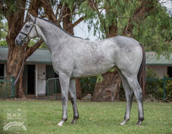 Lot 327 - So You Think x Fulton Filly.jp