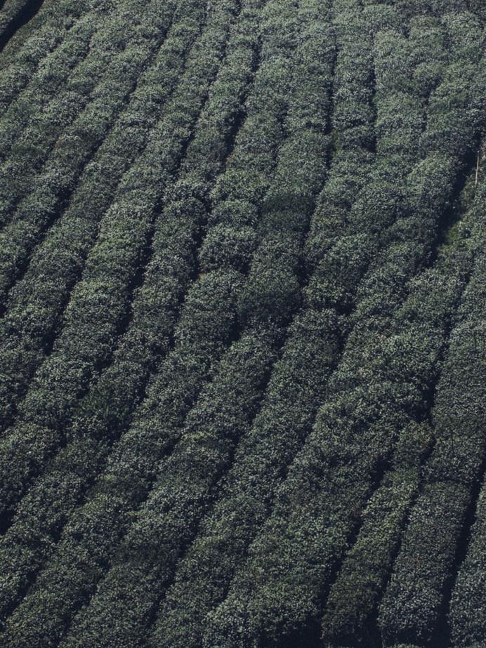 Cánh đồng trà xanh từ trên cao