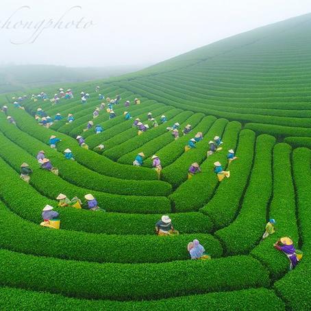 VietGAP là gì? Trà VietGAP và trà hữu cơ: Hướng đi mới cho ngành trà Việt