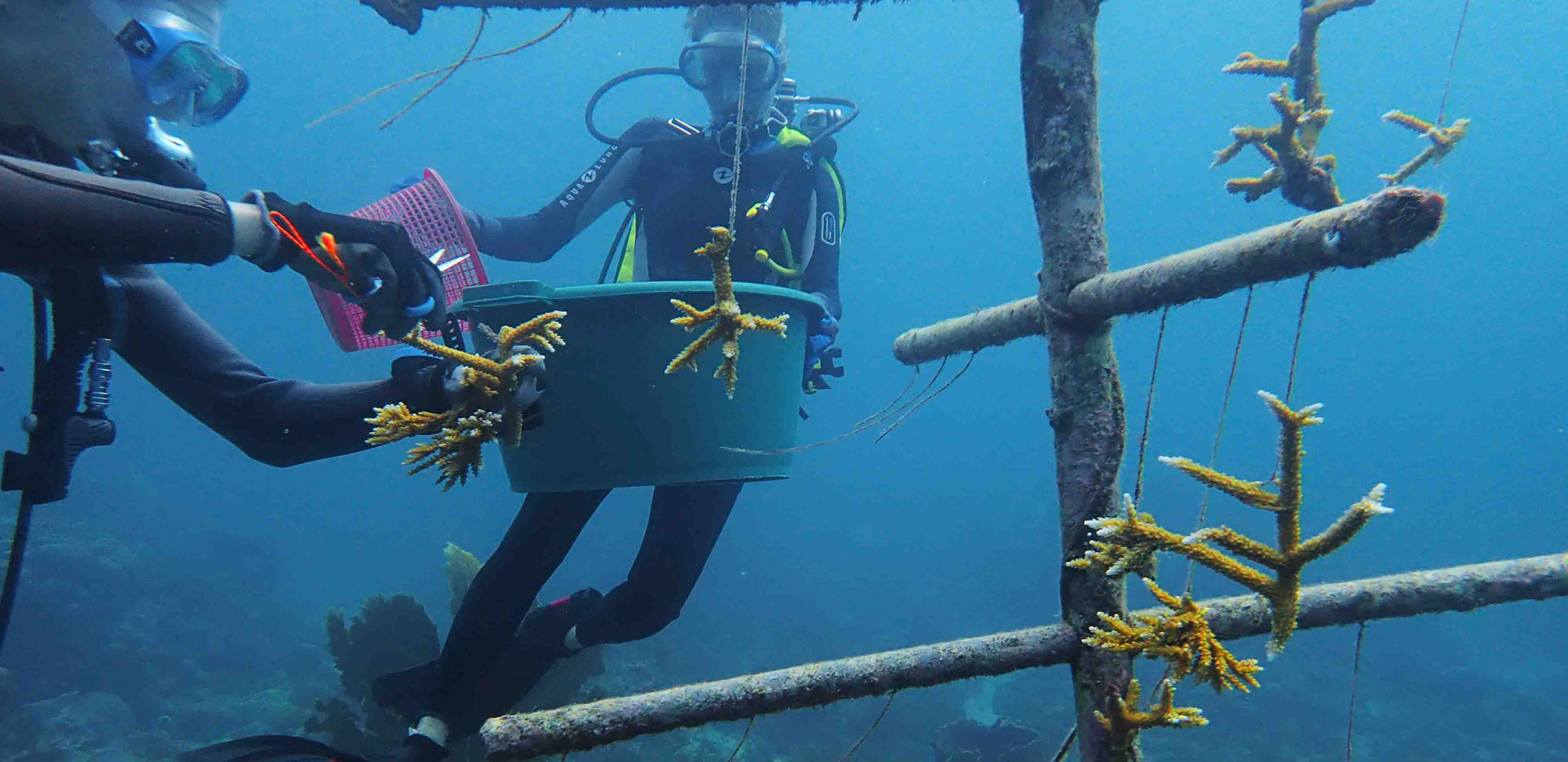Bouturage de coraux