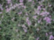 Buplèvre epineux, Maroc, Atlas