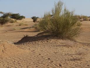 Retem Adrar Mauritanie