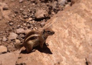 Ecureuil de Barbarie, Maroc, Atlas