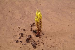 Orobanche, désert Maroc