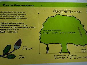 chêne-vert millénaire, Lecina