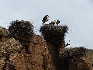 Cigogne, Aït Bougmez, Atlas, Maroc