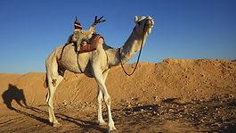 Dromadaire, Adou, désert, Douz