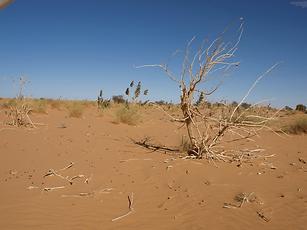 Calotropis, Mauritanie, Désert, Adrar