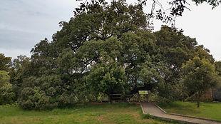 Chêne-vert millénaire, Lecina, aragon, sierra de guara