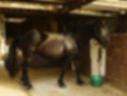 Mérens, cheval