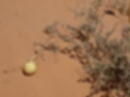 Coloquinte, Adrar, Sahara, Mauritanie
