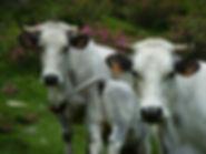 Vache tarasconnaise, Couserans