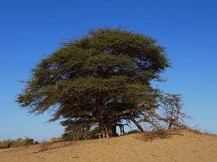 Acacia Adrar Mauritanie