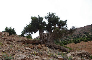 Genevrier thurifère, Atlas, Maroc