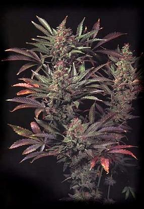 drugs01b.png