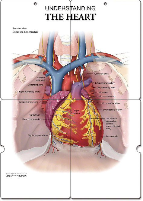 The Heart - Anatomical Folding Board Chart