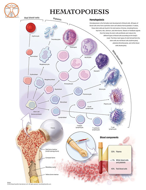 Development of Blood Cells - Anatomical Wall Chart