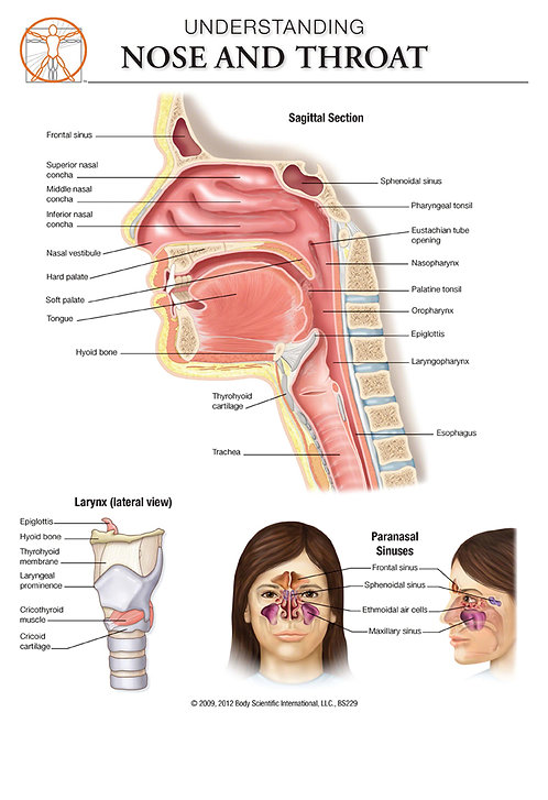 Nose & Throat - Anatomical Wall Chart