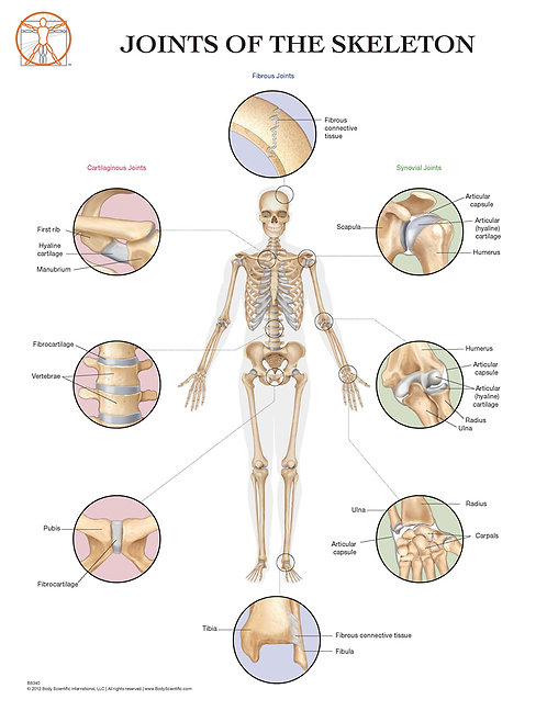 Joints of the Skeleton System - Anatomical Wall Chart