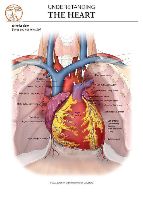 The Heart - Anatomical Wall Chart