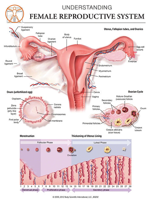 Female Reproductive System - Anatomical Wall Chart