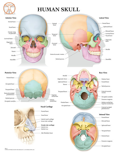 Human Skull - Anatomical Wall Chart