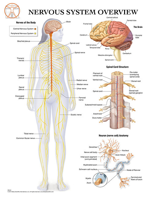 Nervous System - Anatomical Wall Chart