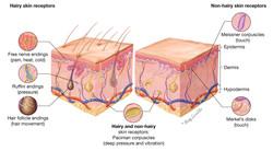 Skin Receptors