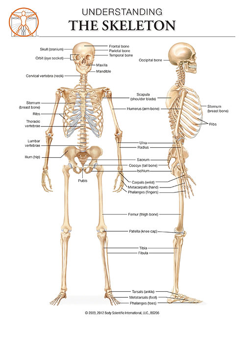 The Skeleton - Anatomical Wall Chart